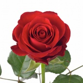 Rosa Red Ribbon